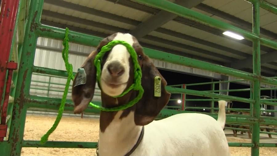 Alvin+Students+Show+Animals+At+Brazos+County+Fair